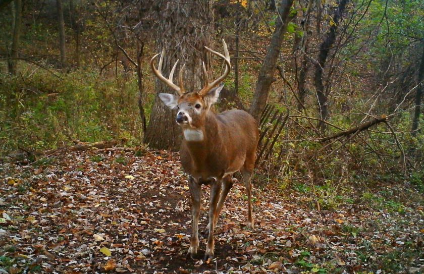 Mature Buck Travel