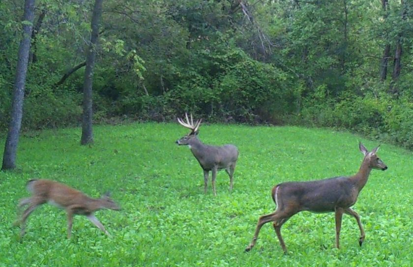 mature buck movement triggers