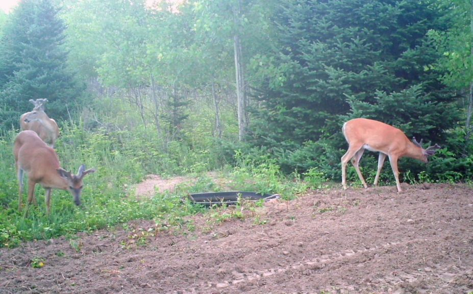 predicting mature buck travel