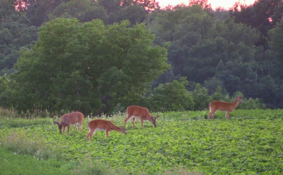 soybeans for deer maybe maybe not whitetail habitat solutions